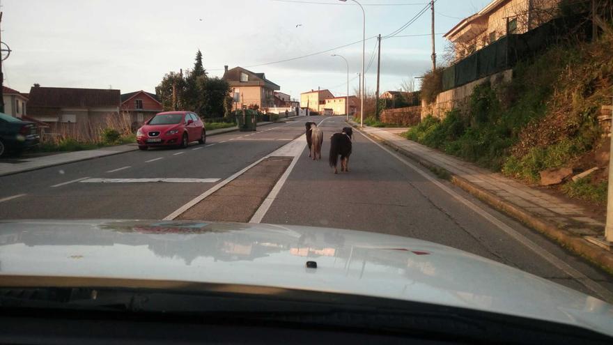 Dos ponis y tres cabras, de paseo por Vigo
