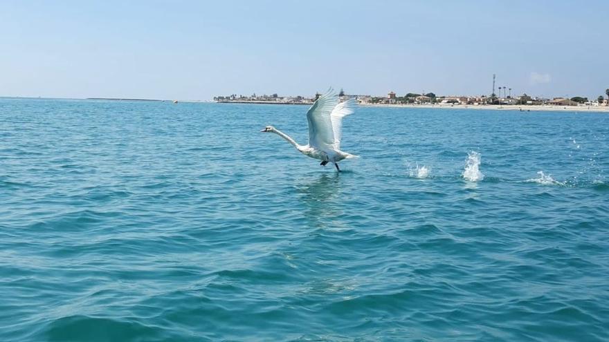 La insólita aventura de un cisne blanco por la costa de Castellón