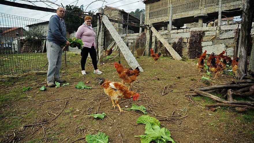Los criadores del gallo de Meis temen que su carne se devalúe si tienen que encerrarlos
