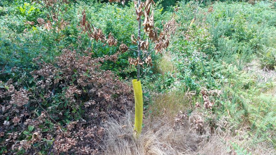 Queman con sulfato una repoblación con castaños en un monte de Graba