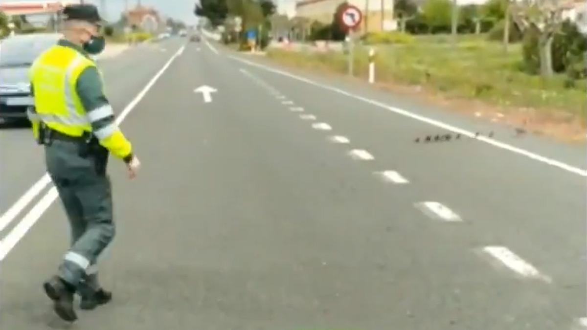 Un agente de la Guardia Civil se asegura de que los patos cruzan la carretera.