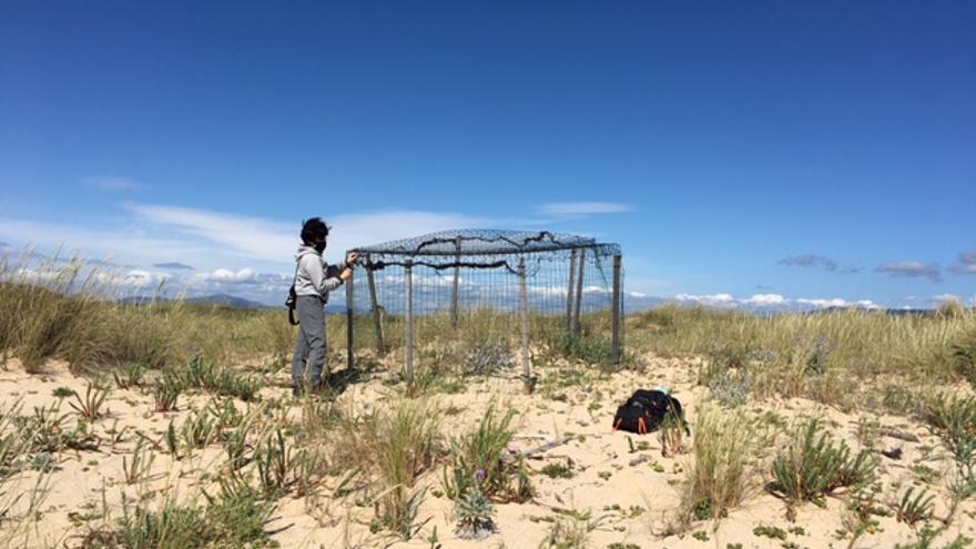 La temporada de cría del chorlitejo arranca con ocho nidos, en O Grove