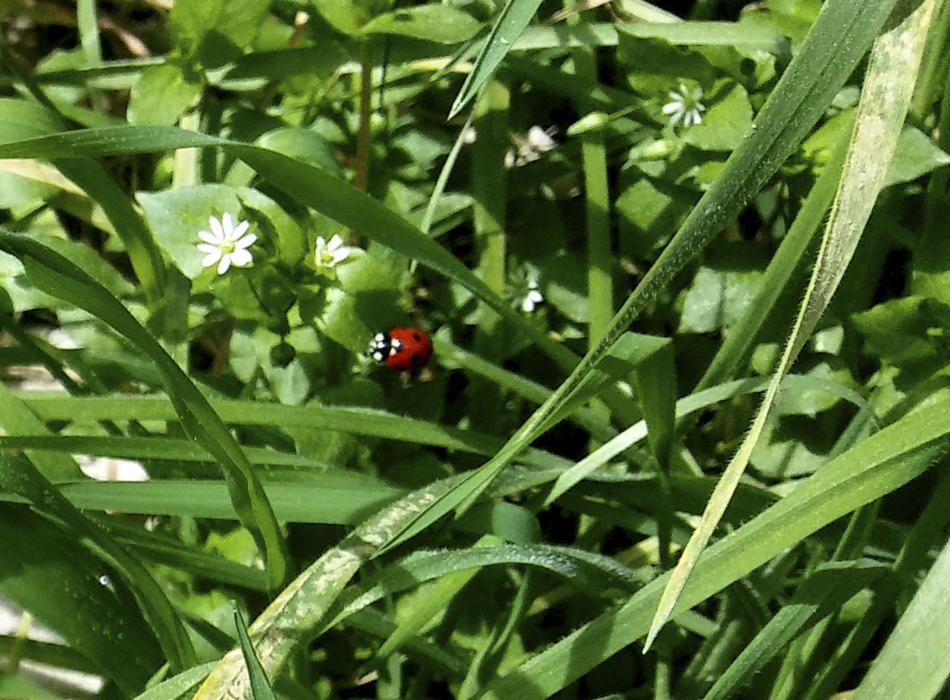 Primavera. La natura fa el seu camí i podem veure aquesta marieta al jardí.