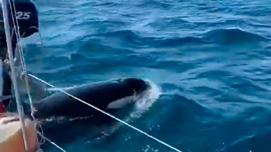 Las orcas dañan a otro velero en la costa gallega
