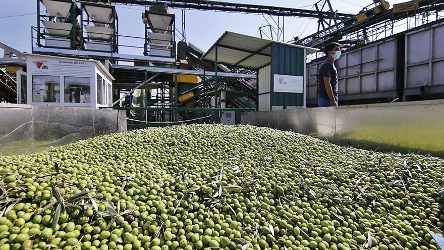 La cosecha de aceituna de mesa será este año superior a la media