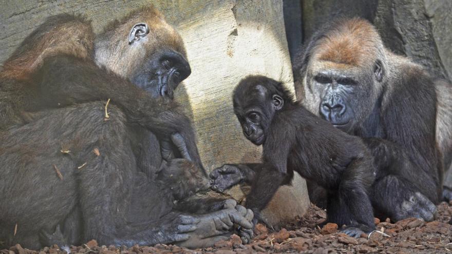 El último gorila nacido en Bioparc se llamará Mbeli