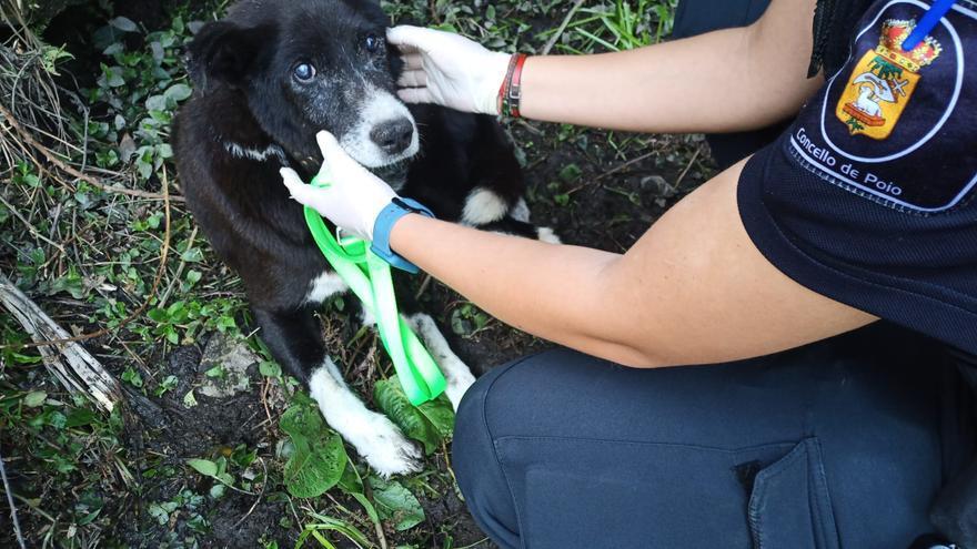 Rescatado un perro ciego, desnutrido y moribundo en un barrizal en Poio
