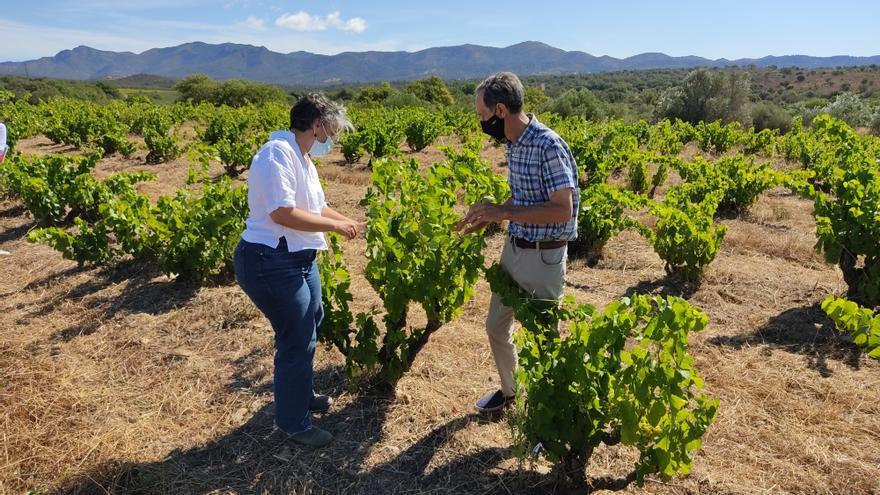 Una tercera part de les vinyes de la DO Empordà tenen més de trenta anys i un 3% més d'un segle