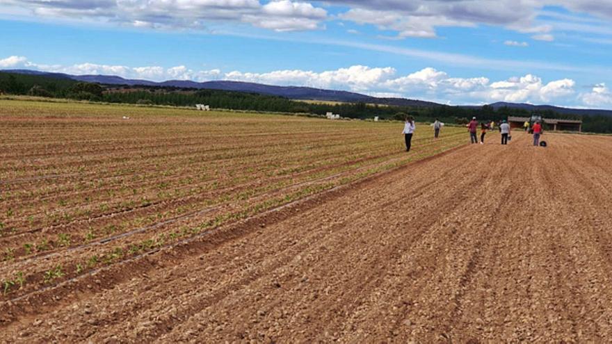 Nueva campaña del pimiento en la comarca de Benavente, del que se comercializan 700.000 kilos en la zona