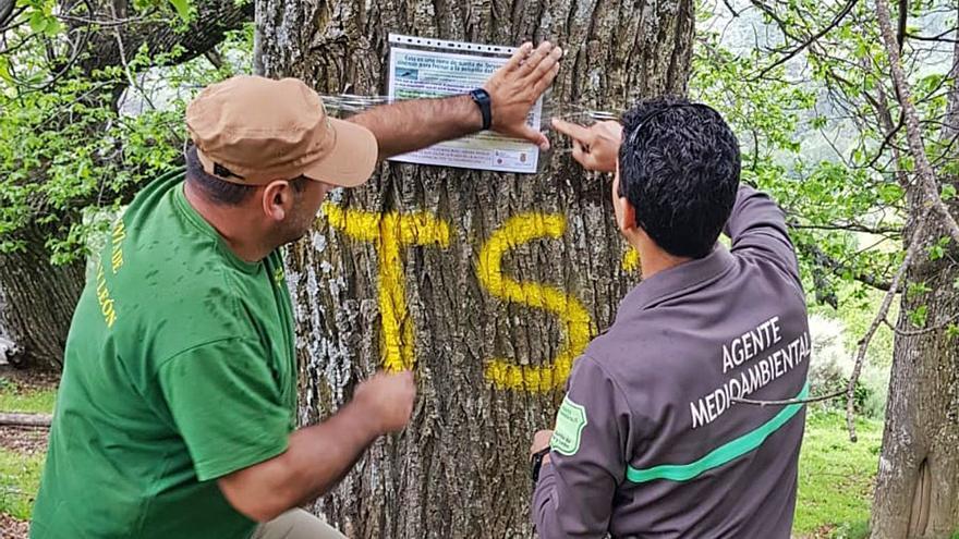 Medio Ambiente redoblará este mes la guerra biológica a la avispilla del castaño en Zamora