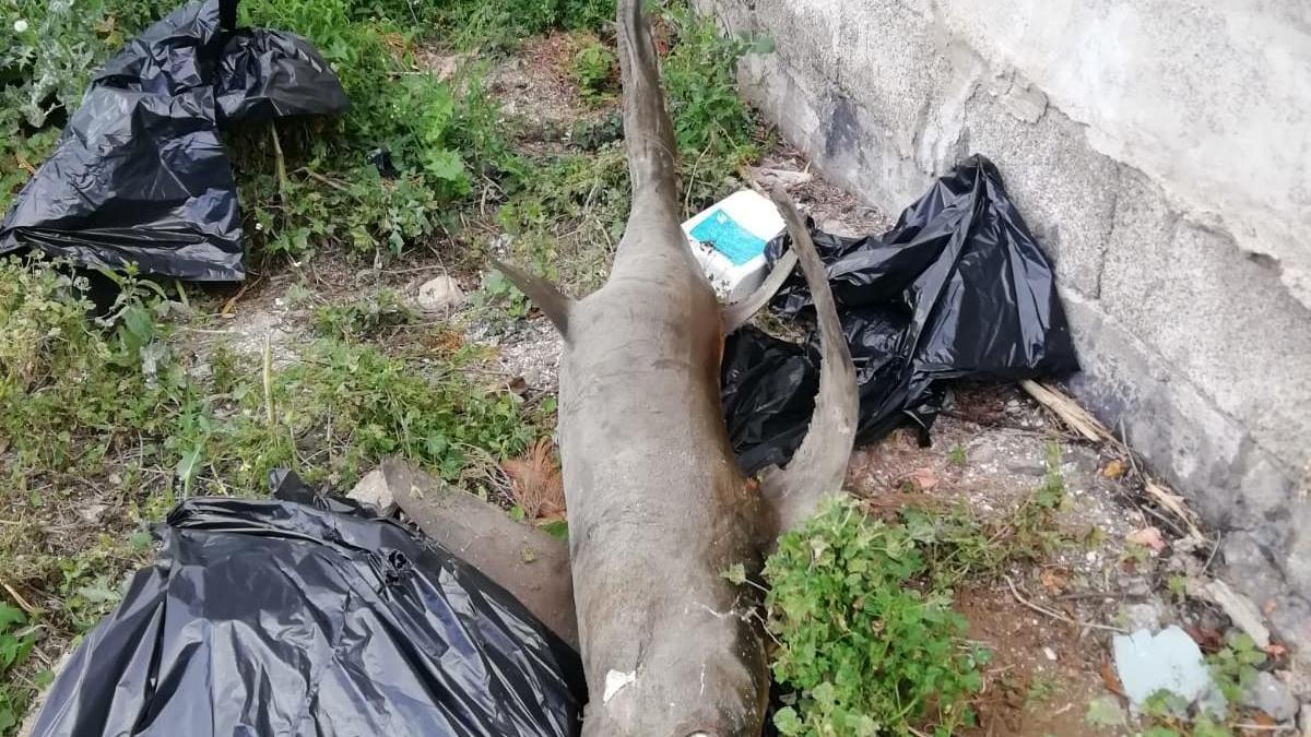 El cadáver de tiburón.