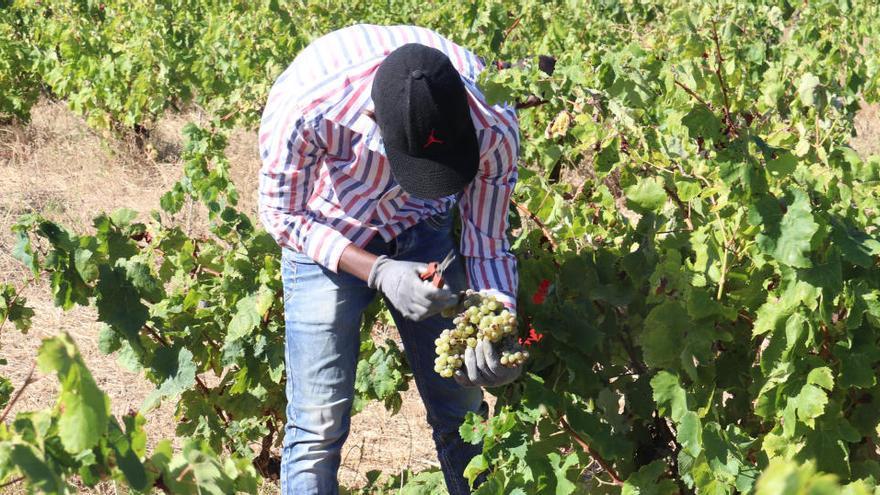 Un terç de les vinyes de la DO Empordà tenen més de 30 anys i un 3% són centenàries