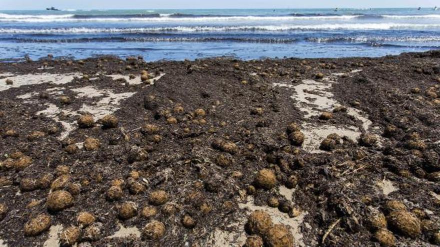 La playa del Cabanyal aparece cubierta de algas