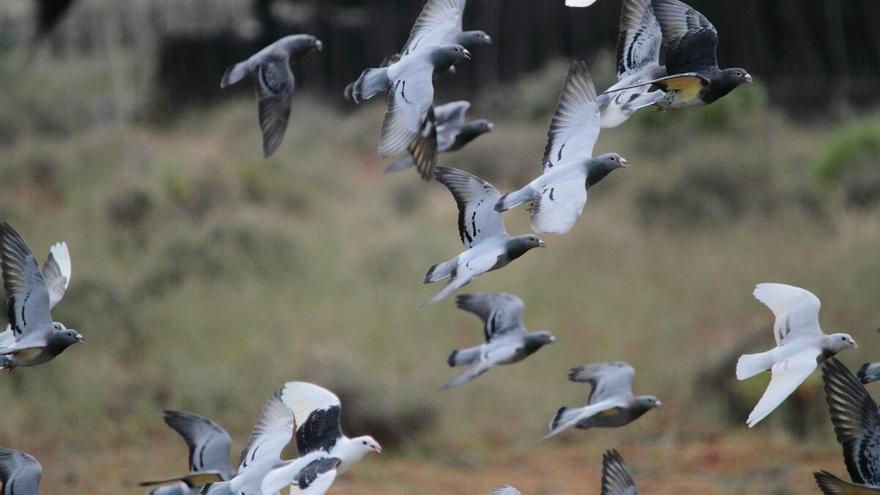 Operación rescate para miles de palomas mensajeras perdidas en España