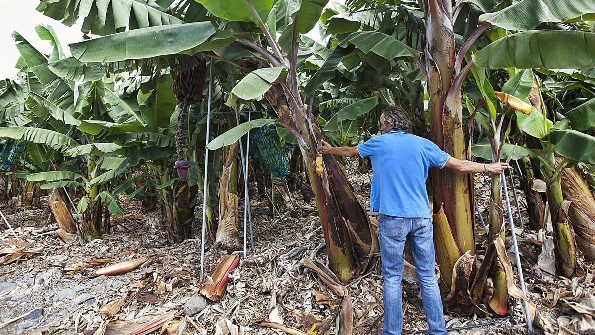 Un trabajador en una finca de plátanos.