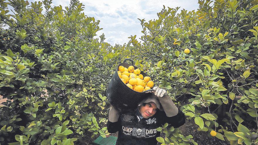 El limón sudafricano inunda los supermercados de Alicante mientras el español se queda en el árbol