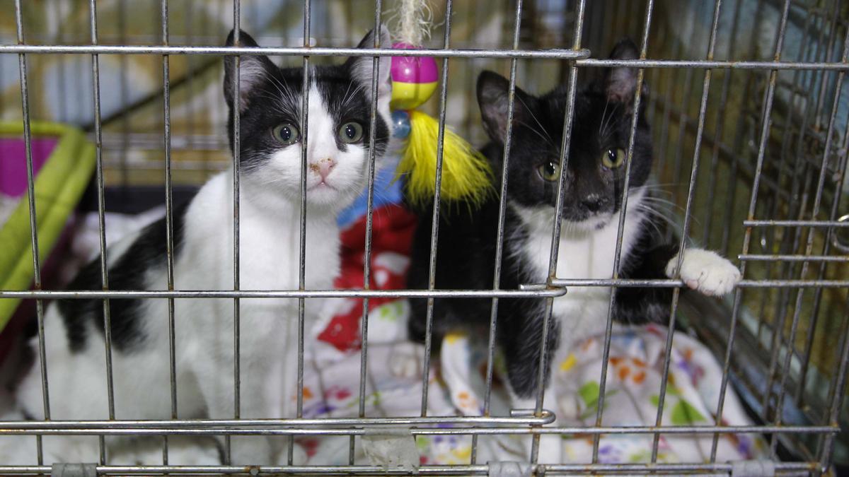 Dos gatitos en una protectora de Sagunt