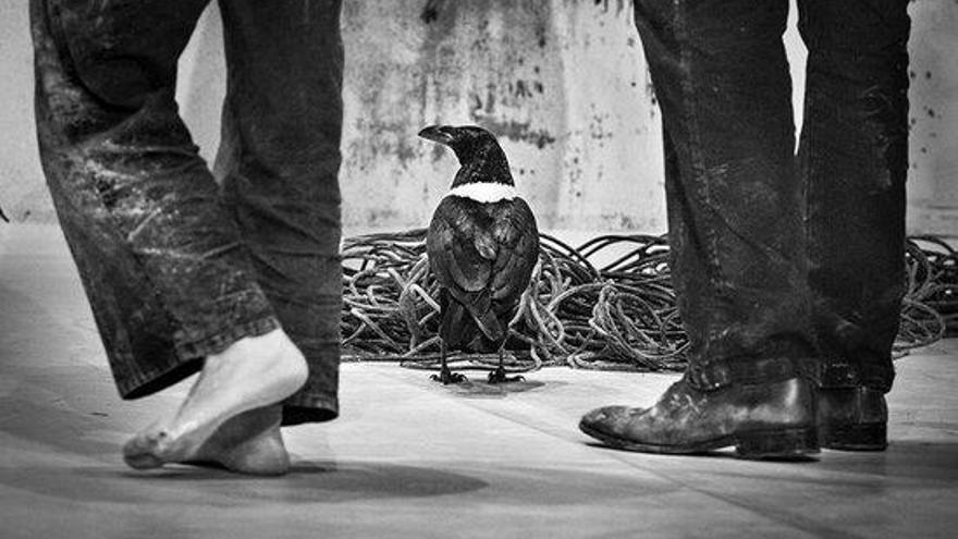 Polèmica a Figueres per la celebració d'un espectacle amb un corb