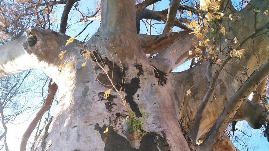 El eucalipto centenario de Gata renace a las tres semanas de calcinarlo un incendio
