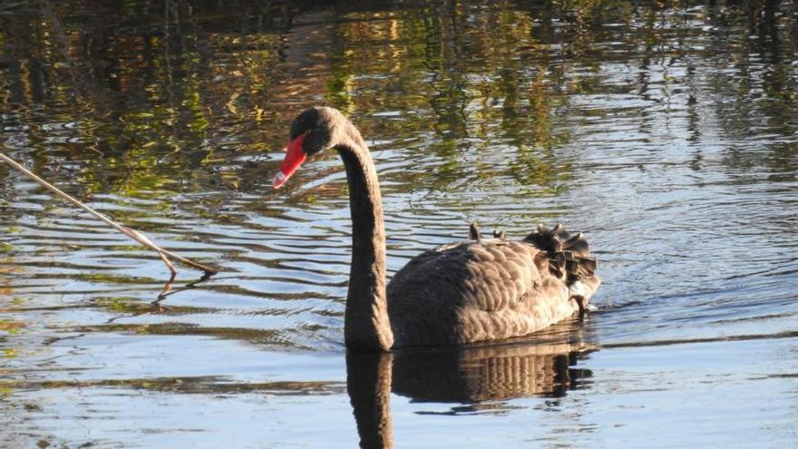 Un cisne negro visita las lagunas artificiales de la Desembocadura del Millars