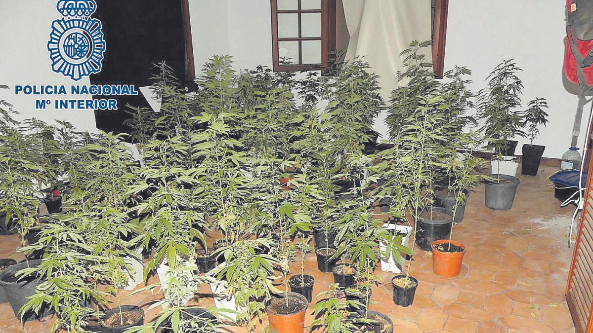 Parte de la plantación de marihuana hallada por la Policía Nacional en una casa ocupada en el Puerto de la Cruz.