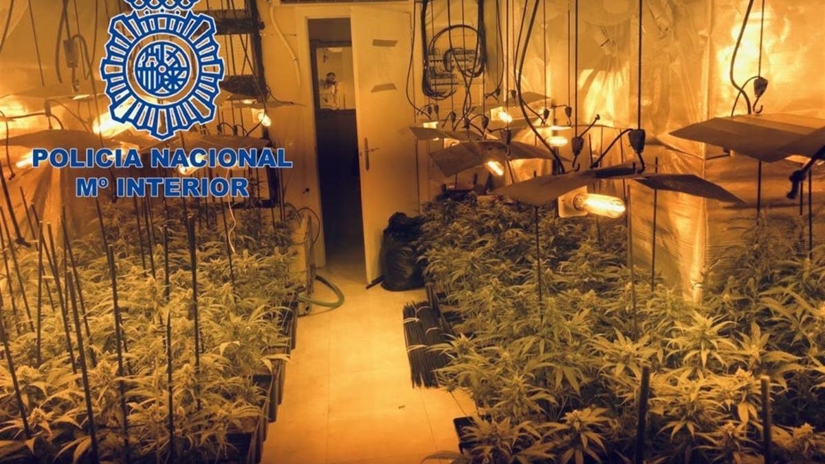 Dos detenidos por cultivar más de 400 plantas de marihuana en Mérida