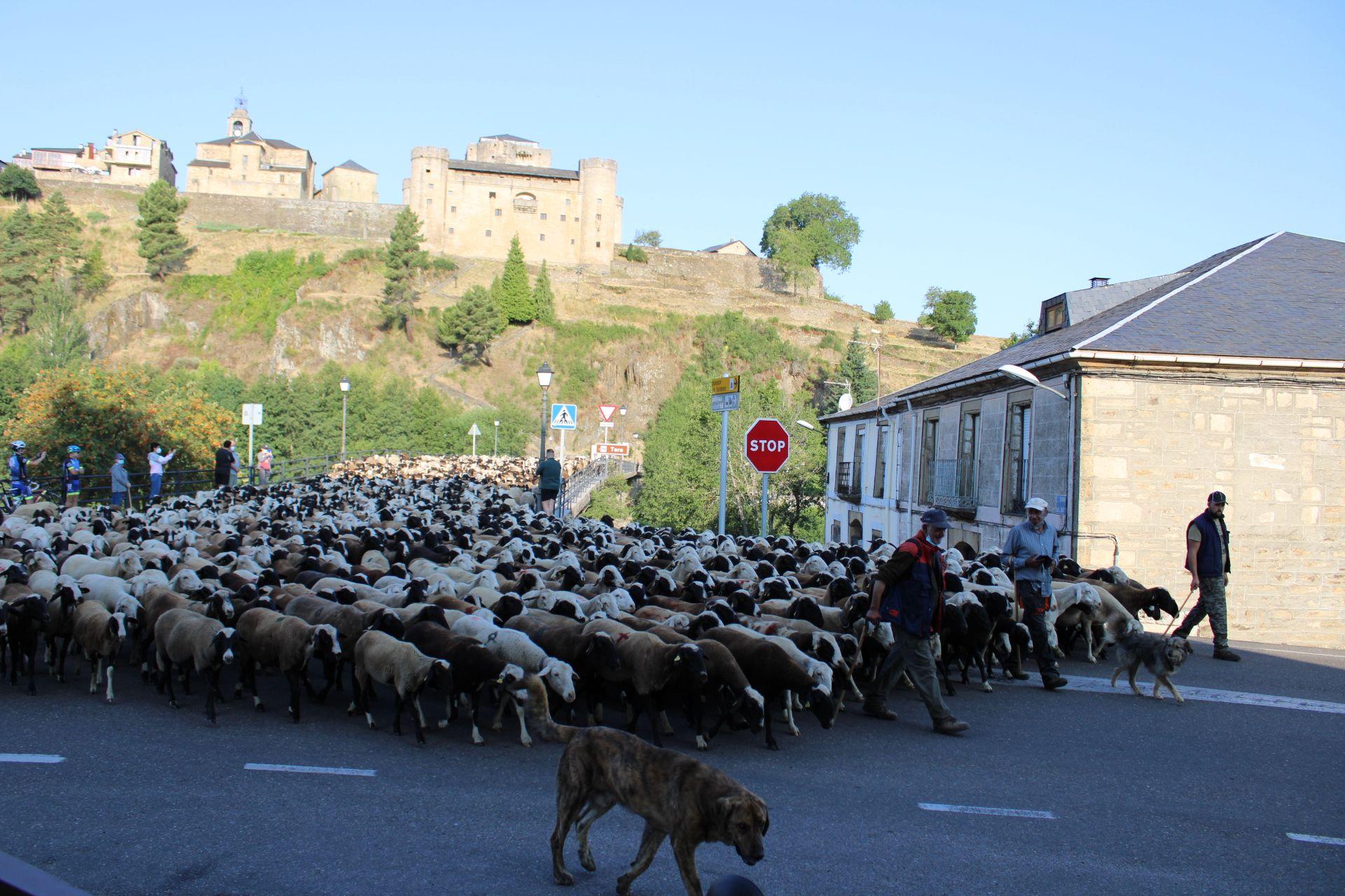 Las ovejas en Puebla de Sanabria