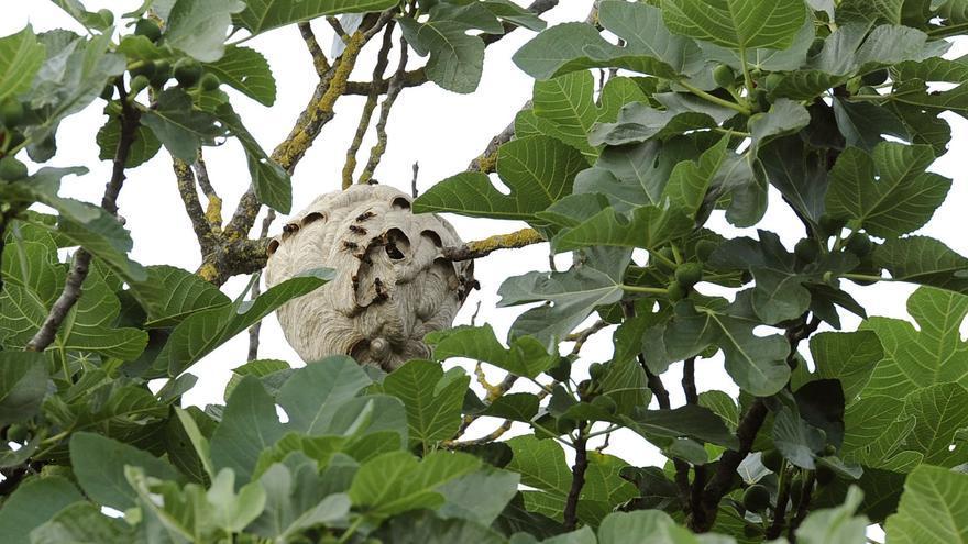 La Xunta contabiliza 953 nidos de velutina retirados en 2020