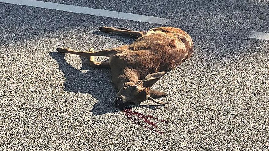 C-59: la perillosa carretera de la fauna