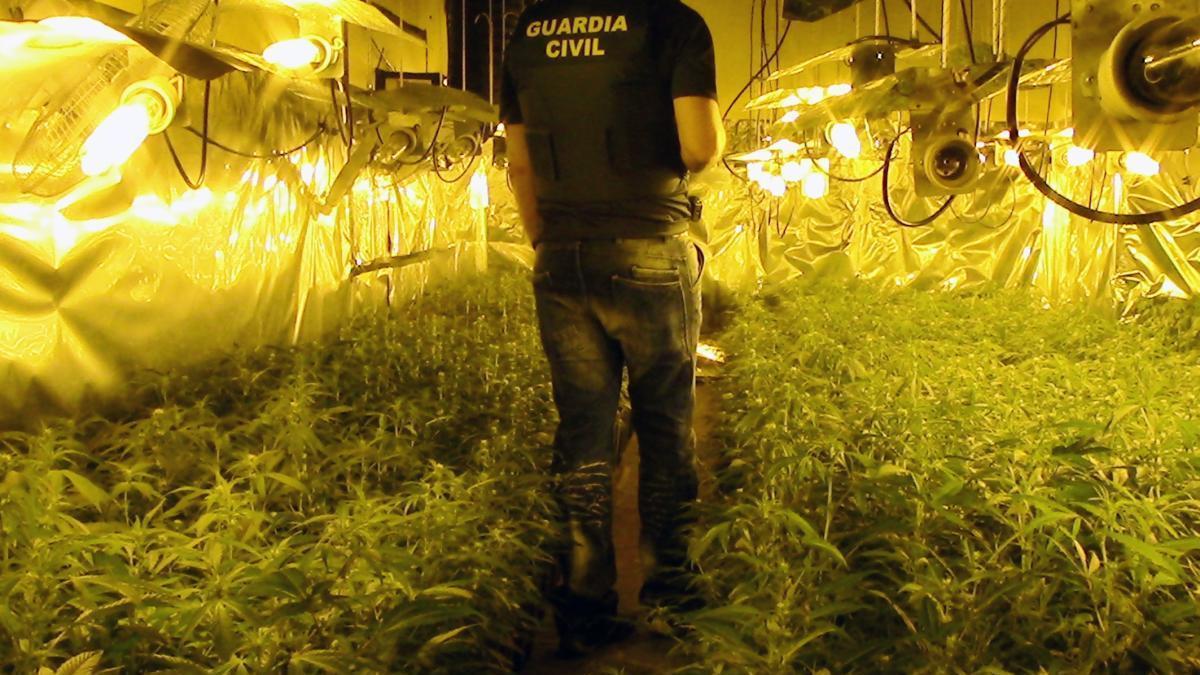 Incautadas más de 2.000 plantas de marihuana en Molina de Segura