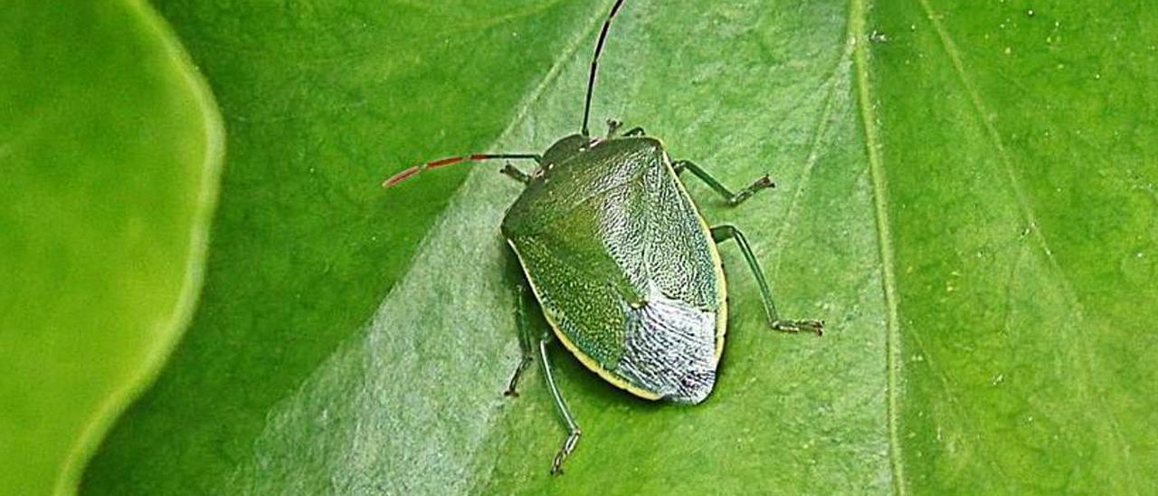 La chinche verde es una especie autóctona que prolifera con las altas temperaturas. | LEVANTE-EMV