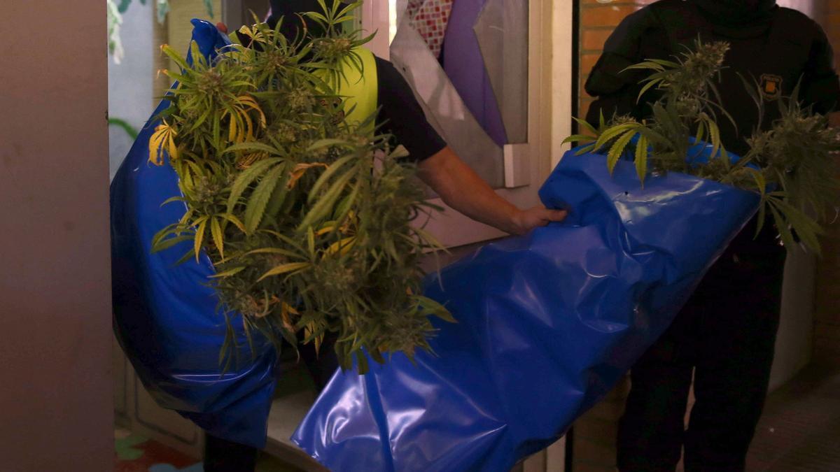 Mossos, Policía y Guardia Civil desarticulan una red de tráfico de marihuana.
