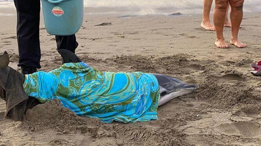 Fallece un delfín varado ayer en La Misericordia