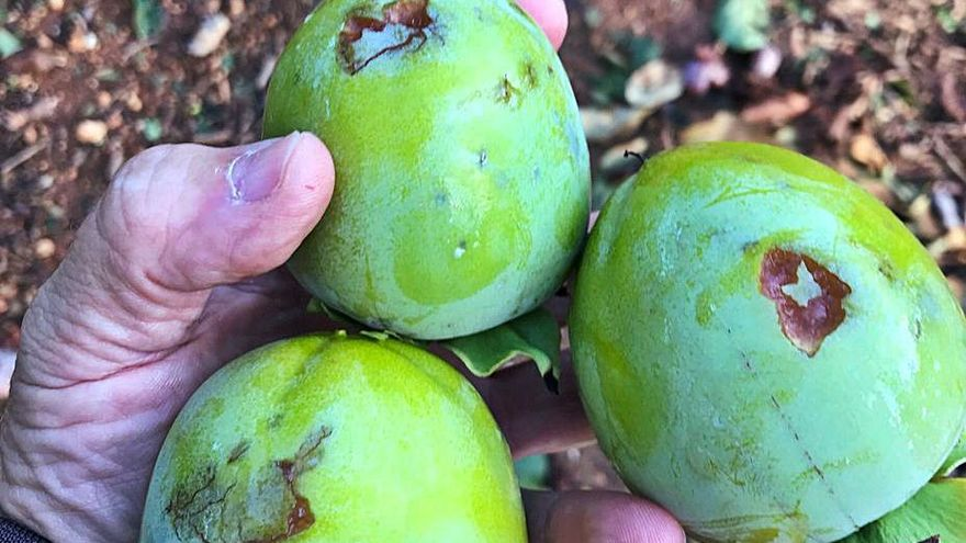 Otra granizada añade más pérdidas a la cosecha de caqui en el Marquesat