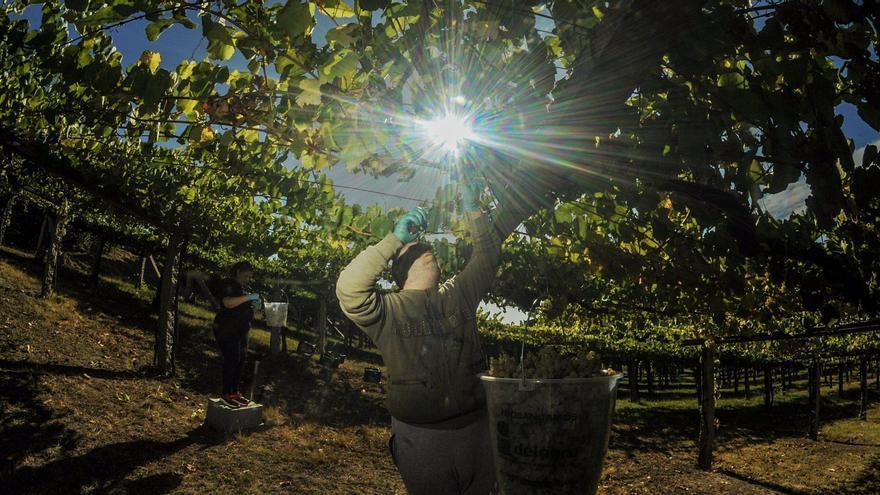 La uva albariña reclama mimos y la máxima atención