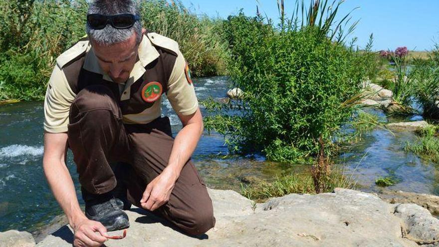 Las nutrias conquistan nuevos tramos de la desembocadura del Mijares