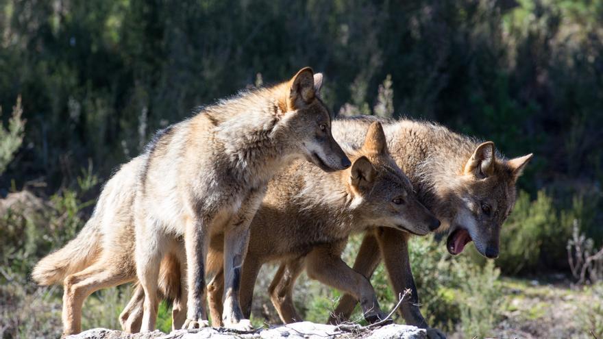 Castilla y León insiste en que se suspenda la protección total al lobo