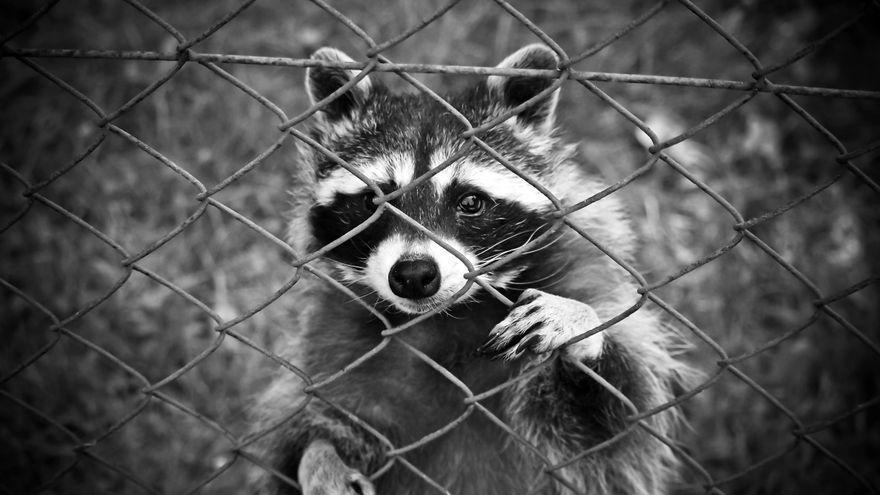 En busca de los mapaches que invaden Mallorca