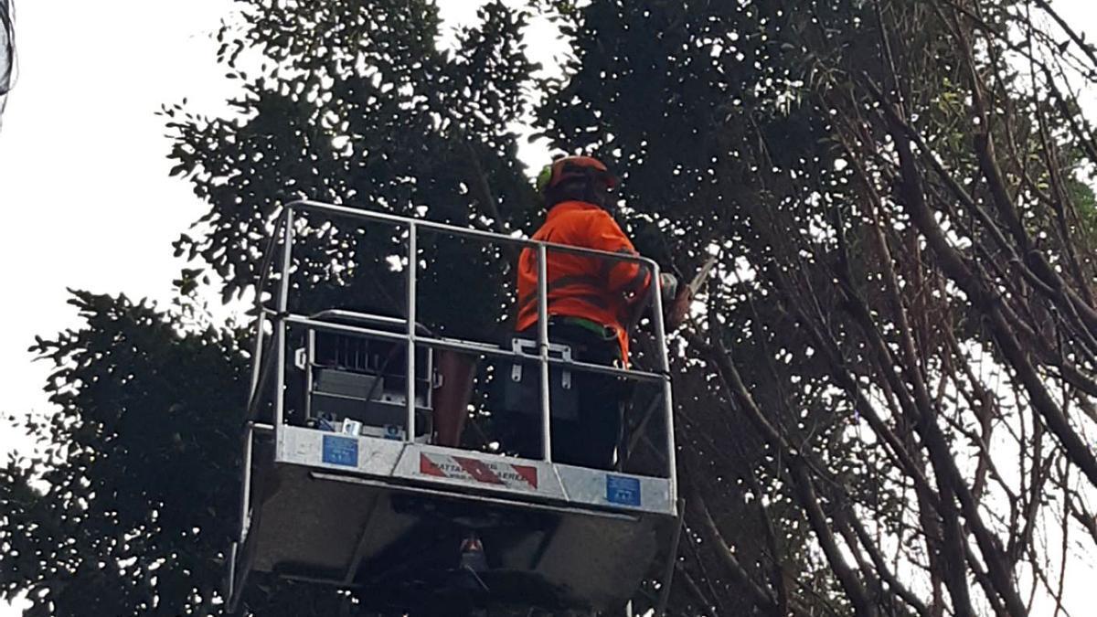 Trabajos de poda de los ficus de la céntrica calle Colón que se están llevando a cabo   LEVANTE-EMV