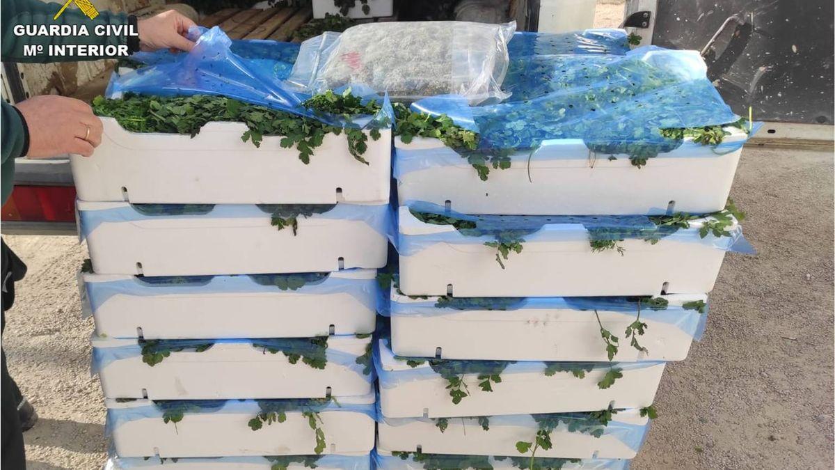 Cajas de perejil donde estaba oculta la marihuana.