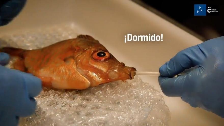 Un ochavo del Aquarium se somete a una operación para extirparle un bulto