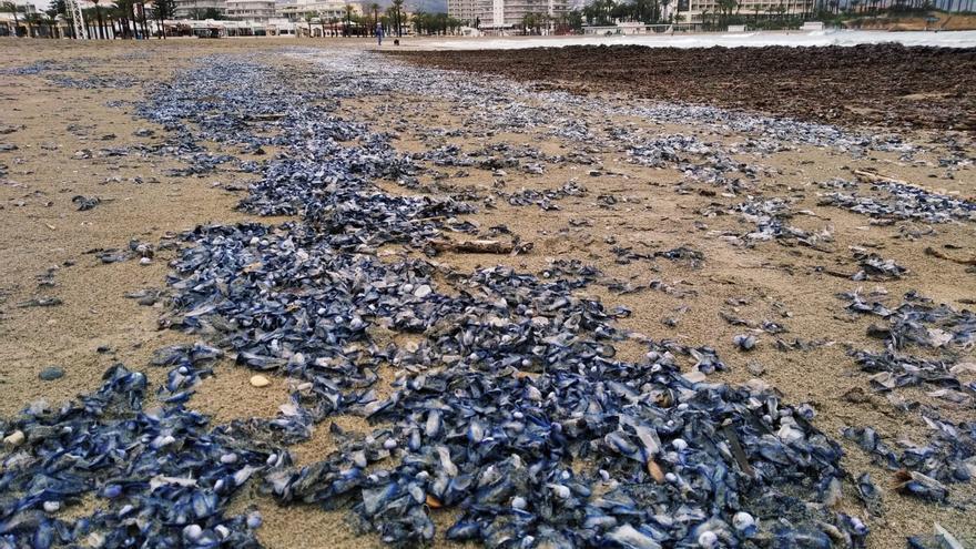 Una marea de inofensivas medusas tiñe de púrpura el litoral de Xàbia