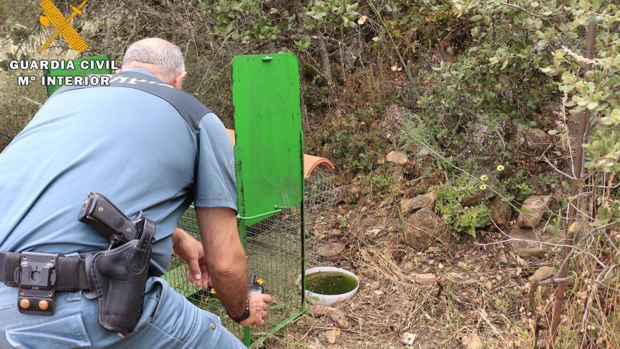 El Seprona investiga a un vecino de La Granjuela por usar una jaula trampa con un gallo vivo como cebo