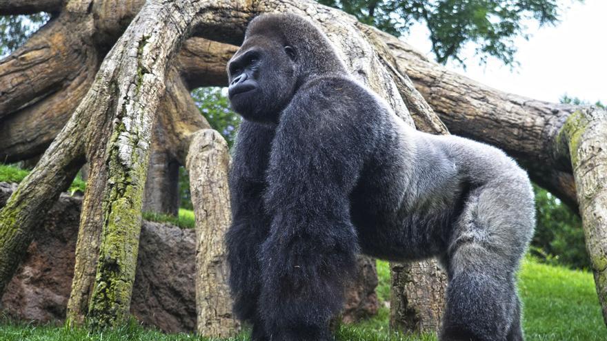 El  gorila 'espalda plateada' de Bioparc cumple 30 años