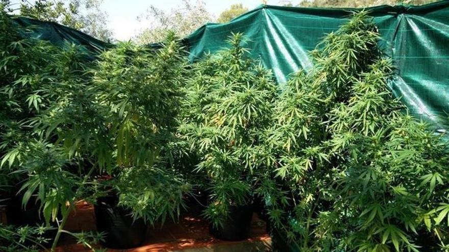 Desmanteladas 12.769 plantas de marihuana en Huesca