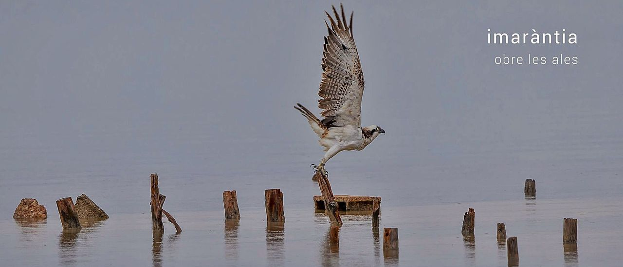 La portada del segundo disco de Imaràntia es un águila pescadora que reside en Formentera.