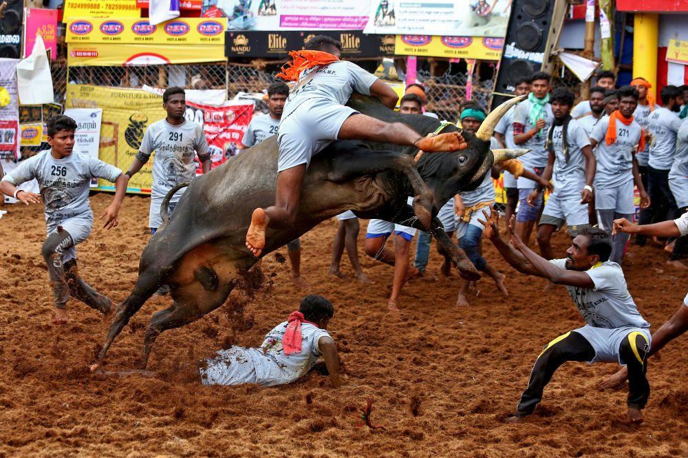 Festival de domesticación en La India