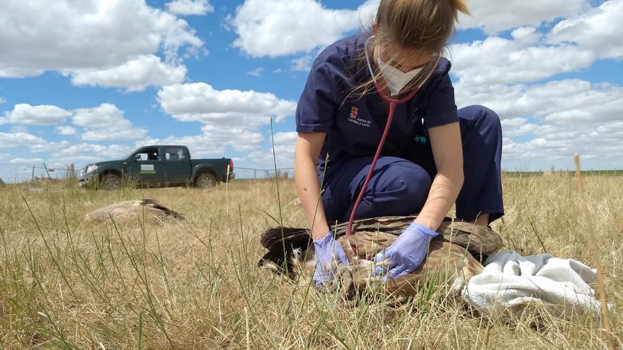 Investigan la muerte de 56 buitres en Salamanca, intoxicados tras comer restos de ovejas