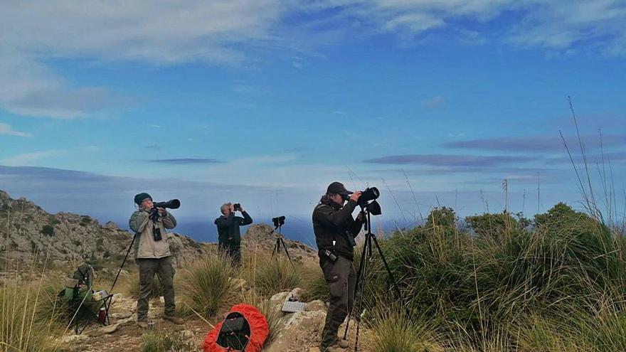 Medio Ambiente organiza el primer censo de buitre negro desde 2008 en Mallorca