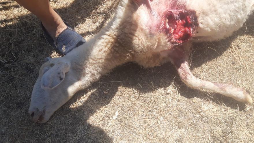 Un ataque de lobo mata diez ovejas en Gáname